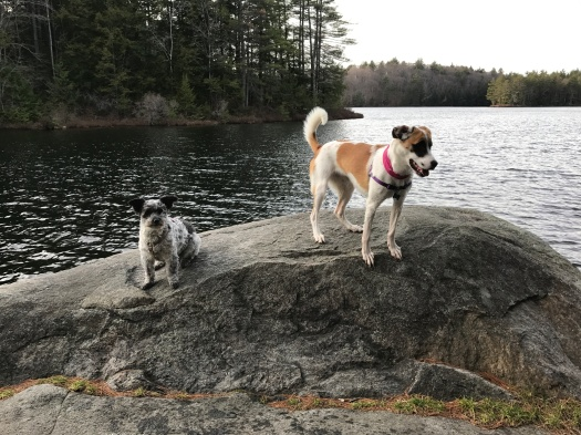 Missy and Chica at Goose Pond, November 2016